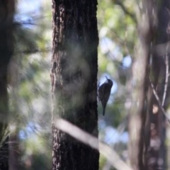 Cormobates leucophaea (White-throated Treecreeper) at Mogo State Forest - 30 Jun 2019 by LisaH