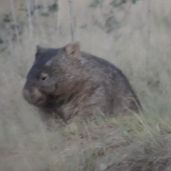 Vombatus ursinus (Wombat) at Point Hut to Tharwa - 3 Apr 2019 by michaelb
