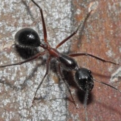Camponotus intrepidus (Flumed Sugar Ant) at ANBG - 30 Jun 2019 by TimL