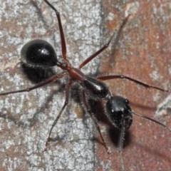 Camponotus intrepidus (Flumed Sugar Ant) at ANBG - 30 Jun 2019 by TimL