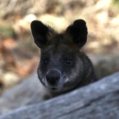 Wallabia bicolor (Swamp Wallaby) at Mount Ainslie - 1 Jul 2019 by jbromilow50