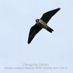 Falco peregrinus (Peregrine Falcon) at Coomee Nulunga Cultural Walking Track - 28 Jun 2019 by Charles Dove