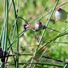 Neochmia temporalis (Red-browed Finch) at Wairo Beach and Dolphin Point - 26 Jun 2019 by CharlesDove