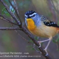 Pardalotus punctatus (Spotted Pardalote) at Coomee Nulunga Cultural Walking Track - 26 Jun 2019 by CharlesDove