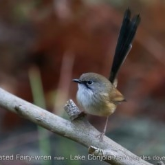 Malurus lamberti (Variegated Fairy-wren) at Conjola Bushcare - 25 Jun 2019 by CharlesDove