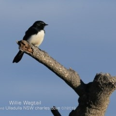Rhipidura leucophrys (Willie Wagtail) at Coomee Nulunga Cultural Walking Track - 26 Jun 2019 by Charles Dove