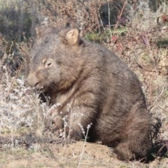 Vombatus ursinus (Wombat) at Gigerline Nature Reserve - 2 Jul 2019 by Christine
