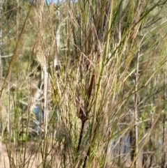Austrostipa ramosissima (Stout Bamboo-grass) at Bens Walking Track - 1 Jul 2019 by Sybille