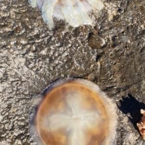 Catostylus mosaicus at Kioloa, NSW - 28 Jun 2019