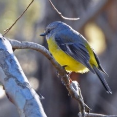Eopsaltria australis (Eastern Yellow Robin) at Tidbinbilla Nature Reserve - 2 Jul 2019 by RodDeb