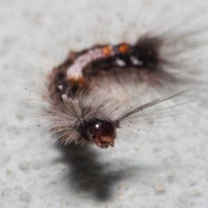 Lymantriinae (subfamily) at ANBG - 2 Jul 2019