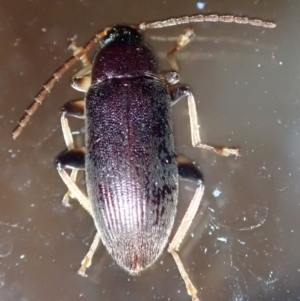 Alleculinae sp. (subfamily) at Ainslie, ACT - 21 Jan 2019