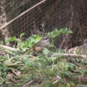 Sericornis frontalis at Mongarlowe River - 3 Jul 2019