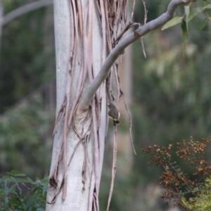 Acanthiza reguloides at Mongarlowe River - 3 Jul 2019