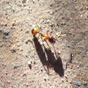 Monomorium sp. (genus) at ANBG - 3 Jul 2019