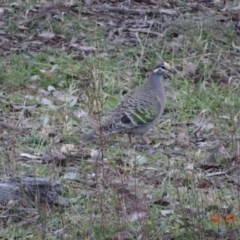Phaps chalcoptera (Common Bronzewing) at Red Hill Nature Reserve - 2 Jul 2019 by TomT