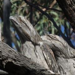 Podargus strigoides (Tawny Frogmouth) at Aranda Bushland - 3 Jul 2019 by KumikoCallaway