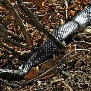 Pseudechis porphyriacus at Brogo, NSW - 4 Jul 2019