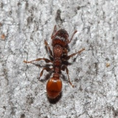 Podomyrma sp. (genus) (Muscleman Tree Ant) at ANBG - 3 Jul 2019 by TimL