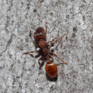 Podomyrma sp. (genus) at ANBG - 3 Jul 2019