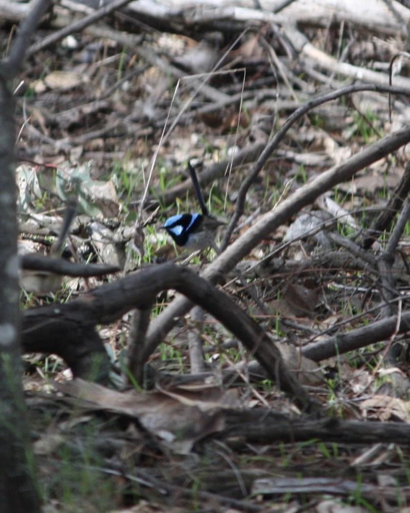 Malurus cyaneus at Red Hill Nature Reserve - 4 Jul 2019