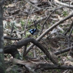 Malurus cyaneus (Superb Fairywren) at Red Hill Nature Reserve - 4 Jul 2019 by LisaH