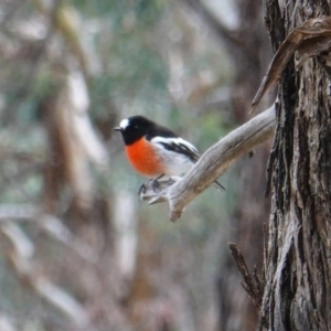 Petroica boodang at Red Hill Nature Reserve - 4 Jul 2019
