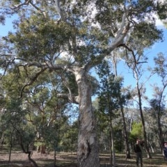 Eucalyptus polyanthemos (Red Box) at Red Hill Nature Reserve - 26 Jun 2019 by JackyF