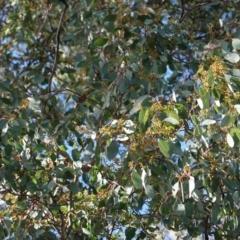 Eucalyptus polyanthemos at Red Hill Nature Reserve - 26 Jun 2019