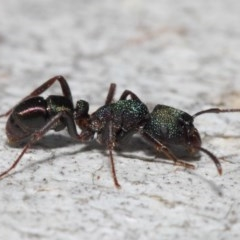Rhytidoponera metallica (Greenhead ant) at ANBG - 4 Jul 2019 by TimL