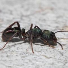 Rhytidoponera metallica (Greenhead ant) at ANBG - 4 Jul 2019 by TimL