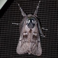 Ptilomacra senex (A Cossid Moth) at Clyde River Retreat - 24 Jun 2019 by ClydeRiver