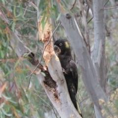 Zanda funereus (Yellow-tailed Black-Cockatoo) at Wanniassa Hill - 5 Jul 2019 by KumikoCallaway