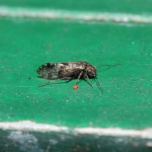 Psocodea 'Psocoptera' sp. (order) at ANBG - 2 Jul 2019