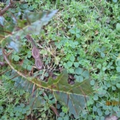 Solanum prinophyllum (Forest Nightshade) at Wonboyn, NSW - 6 Jul 2019 by wickedtatz