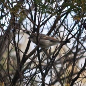 Pachycephala pectoralis at Red Hill Nature Reserve - 6 Jul 2019