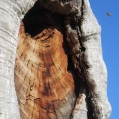 Apis mellifera (European honey bee) at Campbell, ACT - 27 Jun 2019 by Campbell2612