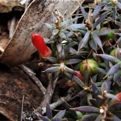 Astroloma humifusum (Cranberry heath) at Bullen Range - 6 Jul 2019 by JohnBundock