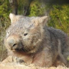 Vombatus ursinus (Wombat) at Bullen Range - 6 Jul 2019 by HelenCross