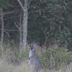 Macropus rufogriseus (Red-necked Wallaby) at Budgong, NSW - 27 Jun 2019 by Ry