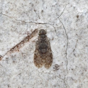 Psocodea 'Psocoptera' sp. (order) at ANBG - 4 Jul 2019