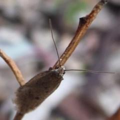 Oecophorinae indeterminate species 1 at Majura, ACT - 7 Jul 2019 by Christine