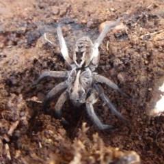 Tasmanicosa sp. (genus) (Unidentified Tasmanicosa wolf spider) at Mount Ainslie - 7 Jul 2019 by Christine