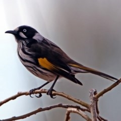 Phylidonyris novaehollandiae (New Holland Honeyeater) at Jerrabomberra Wetlands - 7 Jul 2019 by RodDeb