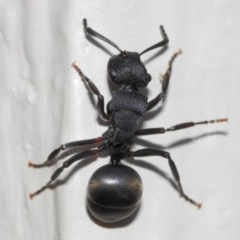 Polyrhachis sp. (genus) (A spiny ant) at Evatt, ACT - 6 Jul 2019 by TimL