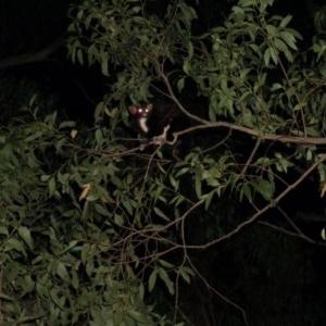 Petauroides volans at Mogo State Forest - 29 Jun 2019