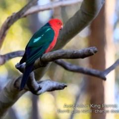 Alisterus scapularis (Australian King-parrot) at Burrill Lake Aboriginal Cave Walking Track - 3 Jul 2019 by Charles Dove
