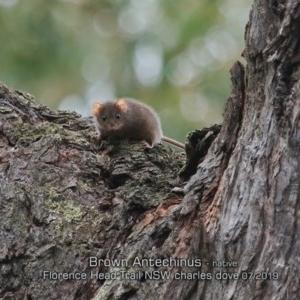 Antechinus stuartii at Morton National Park - 3 Jul 2019