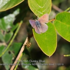Zizina otis labradus (TBC) at Coomee Nulunga Cultural Walking Track - 4 Jul 2019 by Charles Dove