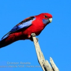 Platycercus elegans (Crimson Rosella) at Coomee Nulunga Cultural Walking Track - 4 Jul 2019 by Charles Dove